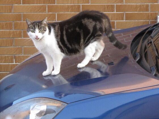 Katzenmädchen Lea auf Nachbars Auto