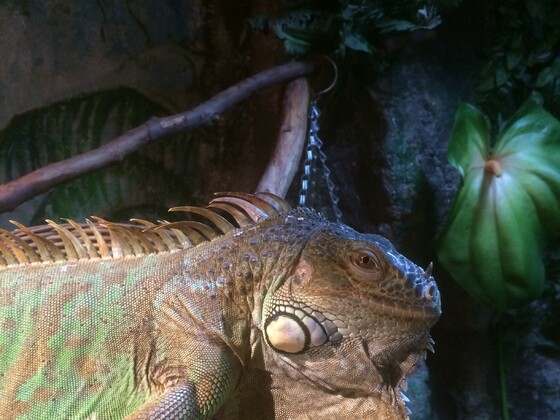 Unser Chef im Rudel...Mister Lizard